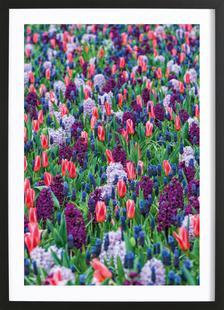 Tulip Field Purple