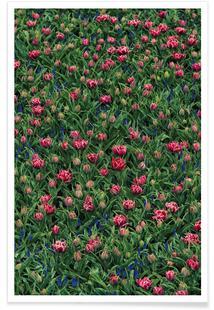 Tulip Field Pink
