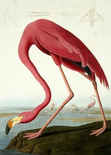 American Flamingo (by List Collection)