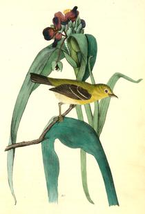 Small-headed Flycatcher (by List Collection)