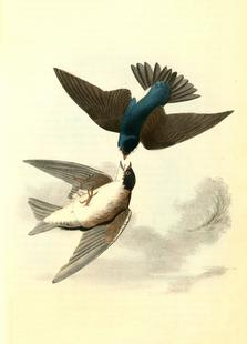 White-bellied Swallow (by List Collection)