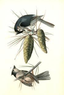 Crested Titmouse (by List Collection)