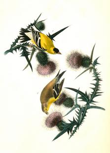 American Goldfinch (by List Collection)