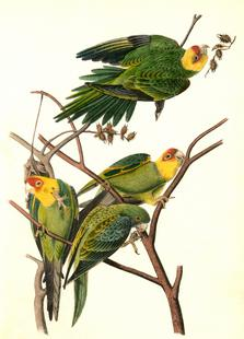 Carolina Parrot (by List Collection)