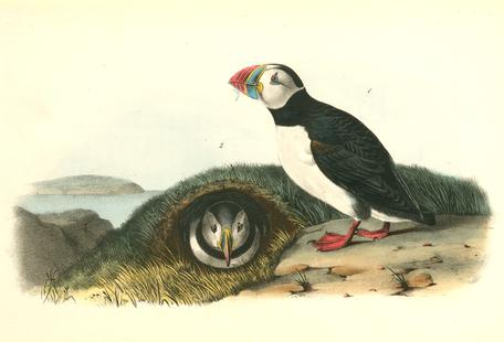 Common or Arctic Puffin (by List Collection)