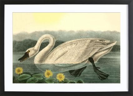 American Swan (by List Collection)