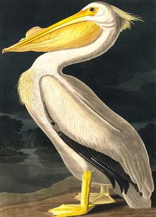 American White Pelican (by List Collection)