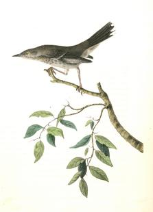 Mountain Mocking Bird (by List Collection)