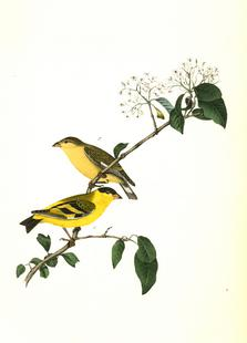 Yarrell's Goldfinch (by List Collection)