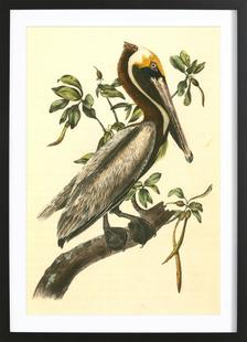 Brown Pelican (by List Collection)