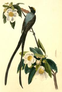 Fork-tailed Flycatcher (by List Collection)
