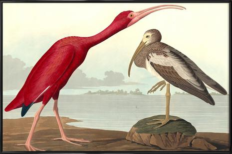 Scarlet Ibis (by Liszt Collection)