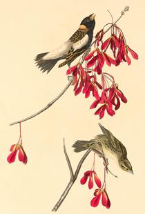Rice Bunting, 1829 (by List Collection)