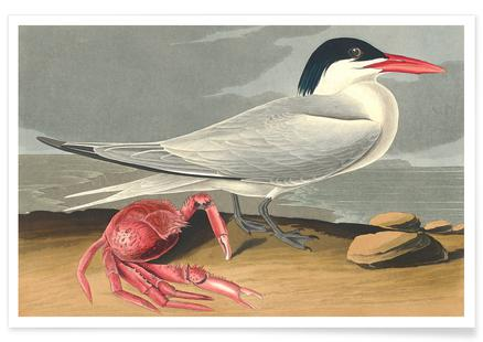 Cayenne Tern (by List Collection)
