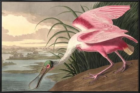 Roseate Spoonbill (by List Collection)