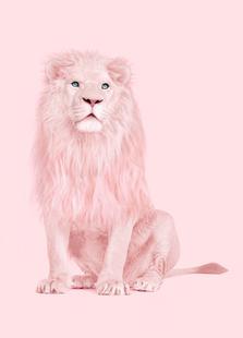 Albino Lion