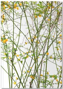 Flora - Ranunkelstrauch