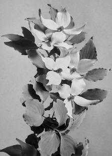 Staub - Blumenhartriegel