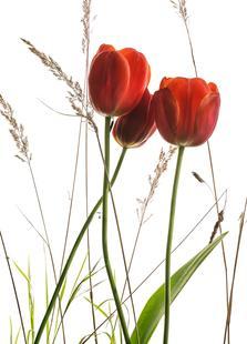 Flora - Tulpe