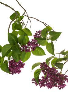 Flora - Flieder