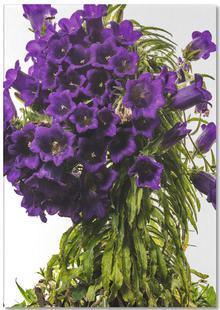Flora - Glockenblume