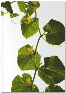 Flora - Gurke