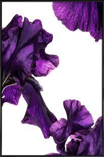 Flora - Schwertlilie 1