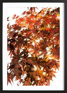Flora - Japanischer Ahorn