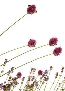 Flora - Lavendel + Kugelköpfiger Lauch