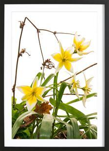 Flora - Wilde Tulpe