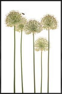 Flora - Zierlauch