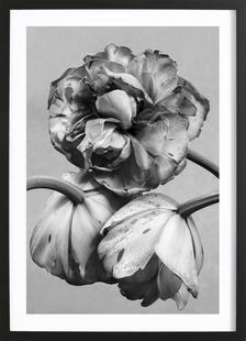 Staub - Tulpe befleckt