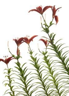 Flora - Lilie