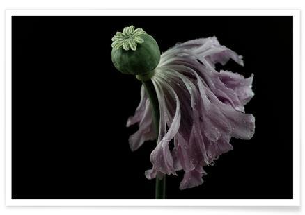 Peony Poppy - Undressing