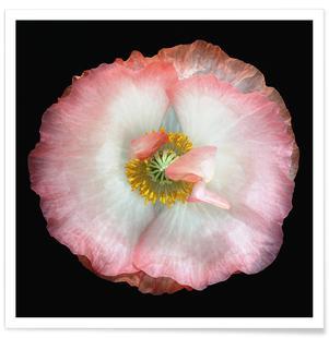 Homegrown Poppy