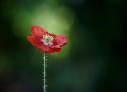 Morning Poppy