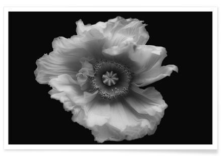 Poppy in Mono