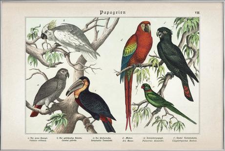 Papageien 8 - Schubert