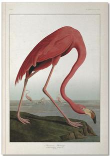 American Flamingo - Audubon