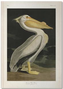 American White Pelican - Audubon