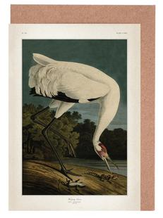 Hooping Crane - Audubon