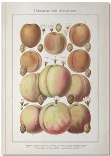 Pfirsiche und Aprikosen - Meyers
