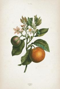 Citrus Bigaradia - Redouté
