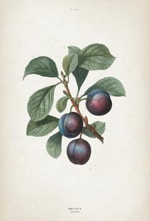 Prunus Myrobalana - Redouté