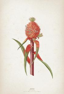Ananas Folio - Ehret