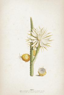 Cereus Altissimus - Ehret