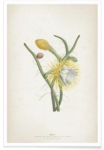 Cereus Gracilis - Ehret