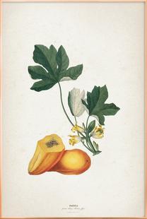 Papaya - Ehret