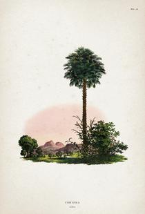 Corypha Cerifera - Martius