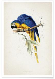 Macrocercus Ararauna - Lear